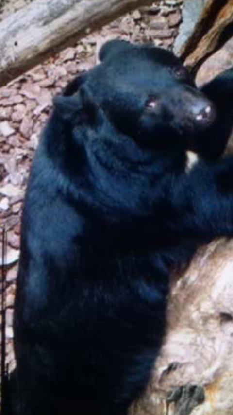 上野のクマは